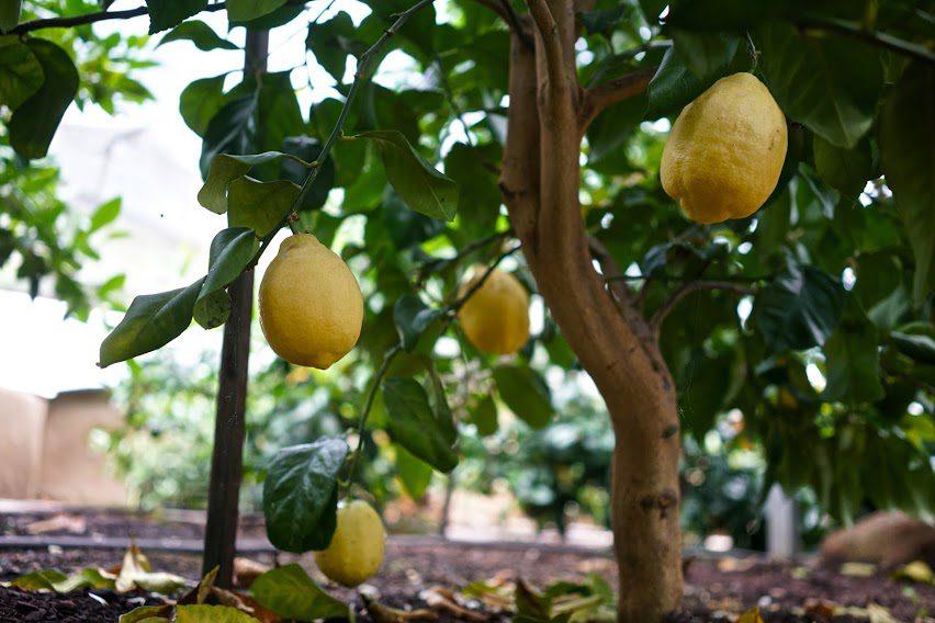 LemonTrees